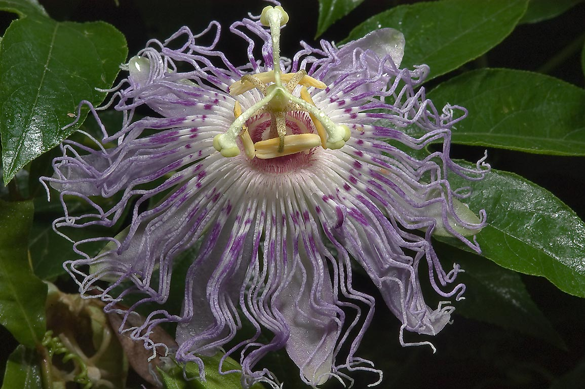 Passion flower (passiflora) in Lick Creek Park. College Station, Texas