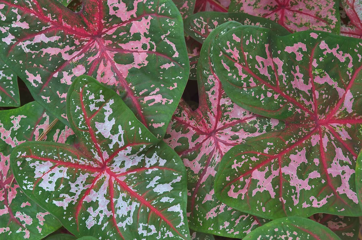 Fancy-leaved caladium (Caladium x hortulanum) in...Gardens. Humble (Houston area), Texas