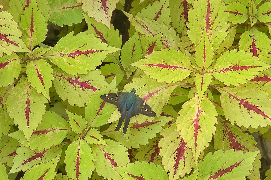 Coleus with a Long tailed skipper butterfly in...Gardens. Humble (Houston area), Texas