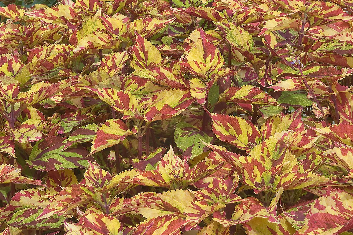 Bright speckled coleus in Mercer Arboretum and...Gardens. Humble (Houston area), Texas
