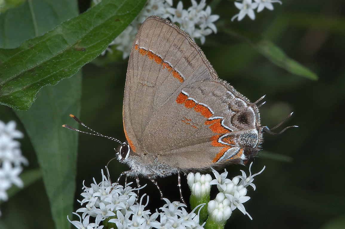 Red-banded Hairstreak (Calycopis cecrops...Forest, near Huntsville. Texas