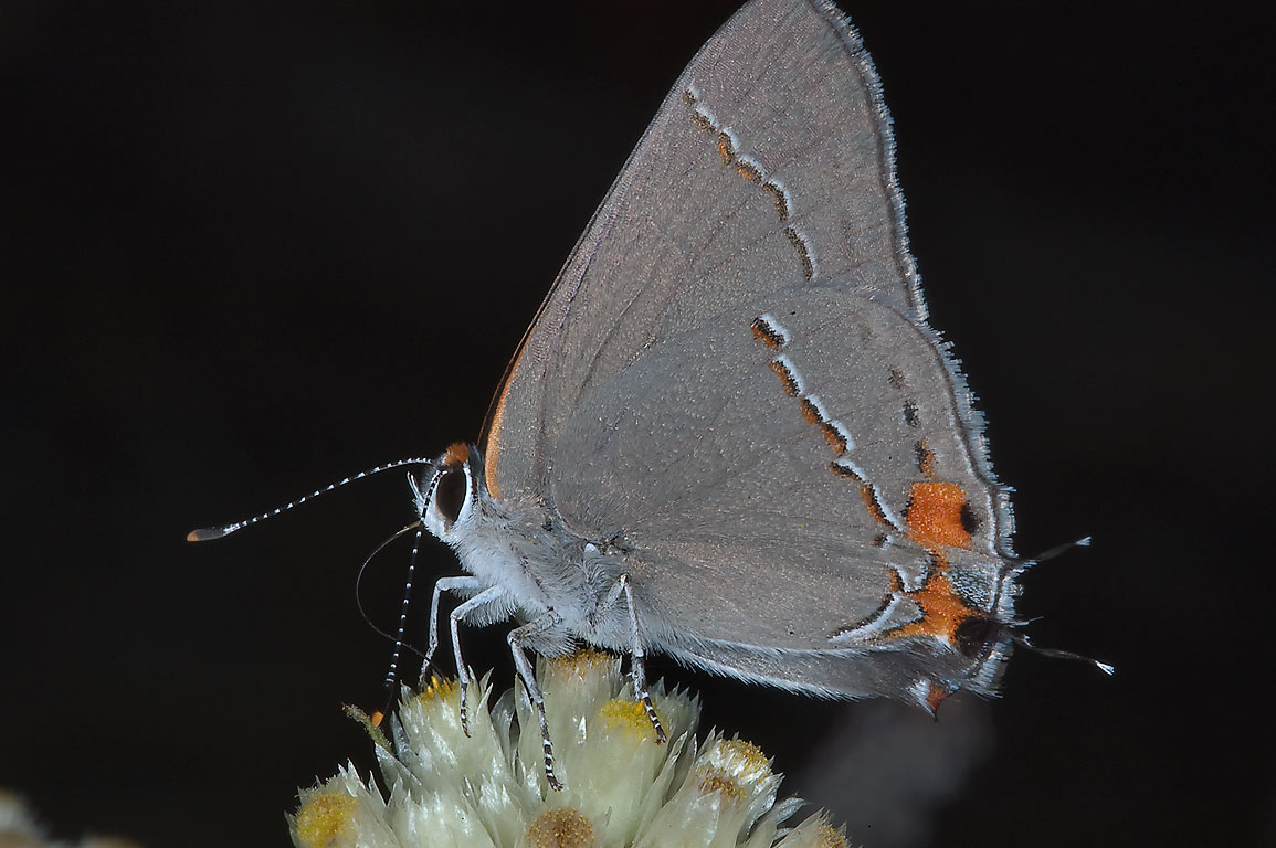 Gray Hairstreak (Strymon melinus) butterfly on...Lost Pines State Park. Bastrop, Texas