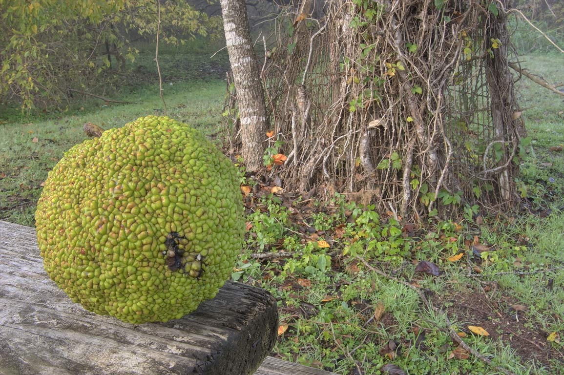 Fruit of osage orange on a picnic table near a...State Historic Site. Washington, Texas