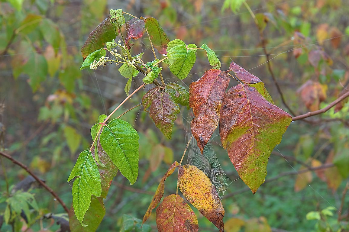 Fall colors of poison ivy in Washington-on-the...State Historic Site. Washington, Texas