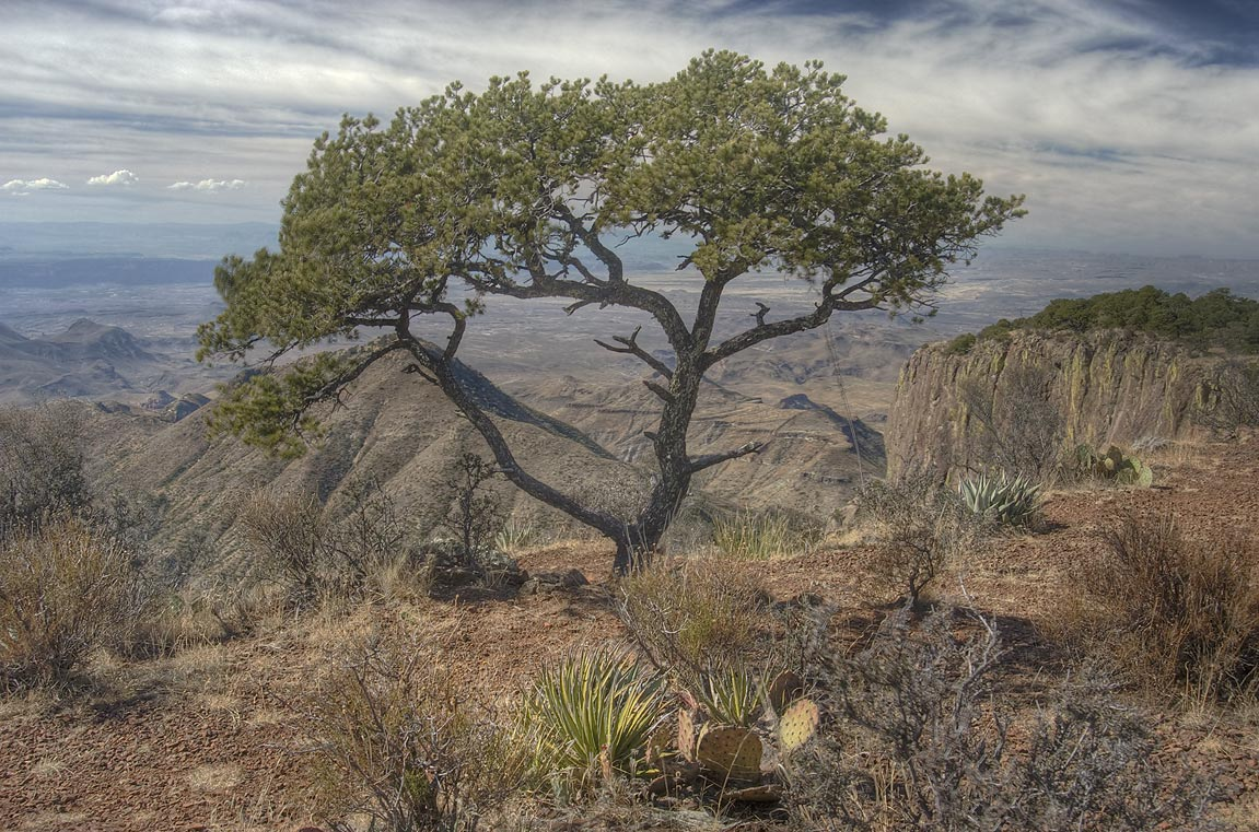 Pine tree on South Rim. Big Bend National Park