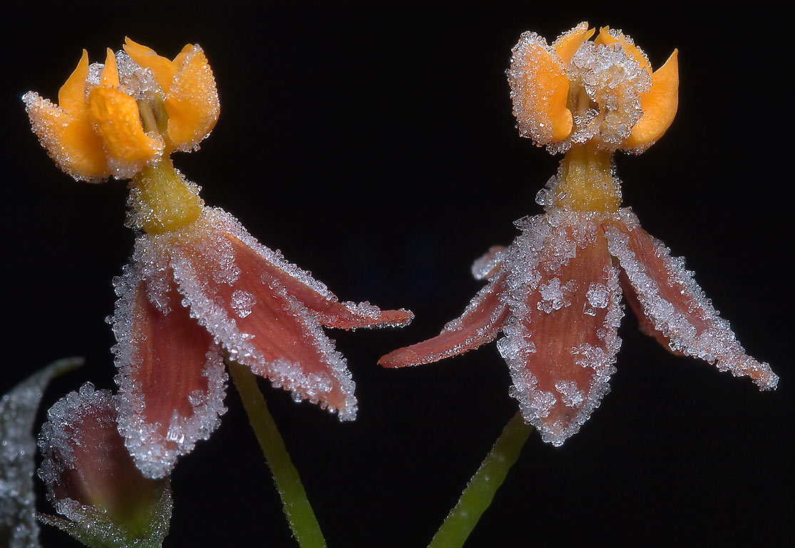 Frozen flowers of red milkweed (Asclepias...M University. College Station, Texas
