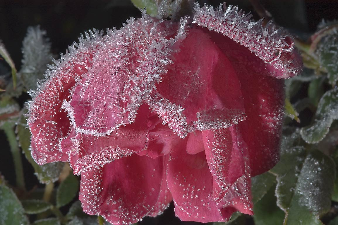 Frozen rose flower in TAMU Holistic Garden in...M University. College Station, Texas