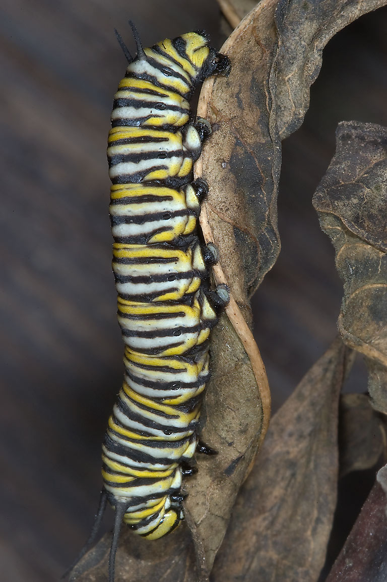 Monarch caterpillar feeding on dried milkweed...M University. College Station, Texas