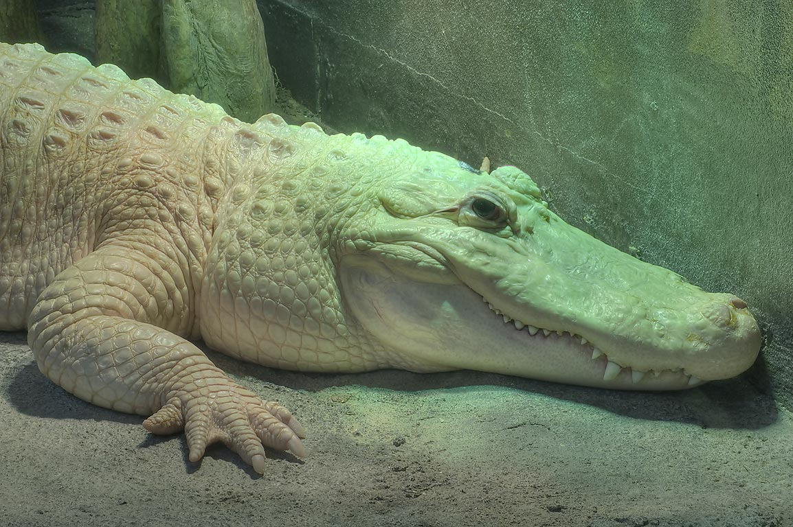 White alligator in Houston Zoo. Houston, Texas