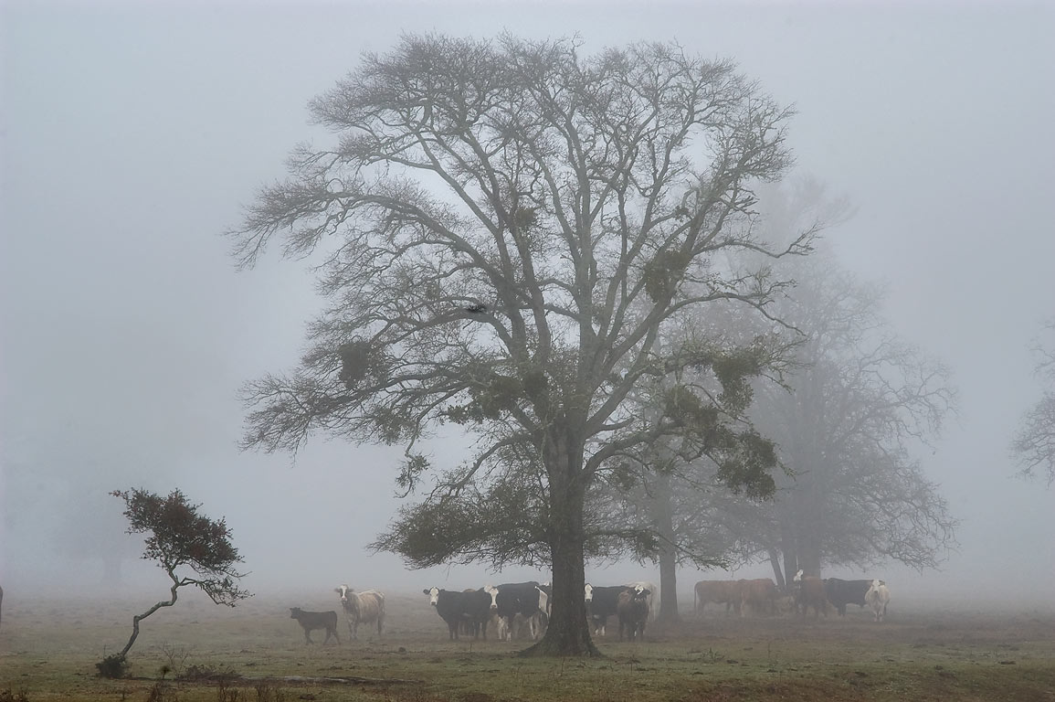 Cow pasture near Allen Cemetery at Rd. 3090 in fog, west from Anderson. Texas