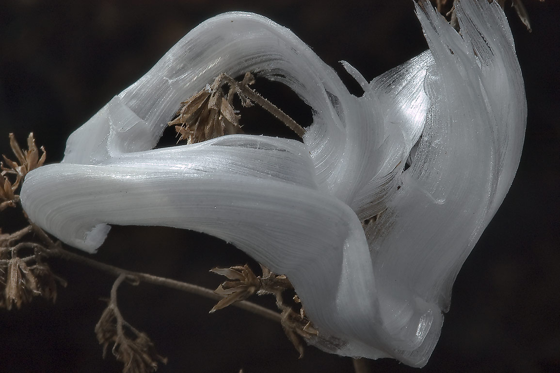 Frostweed (Verbesina virginica) after hard freeze...shapes. College Station, Texas