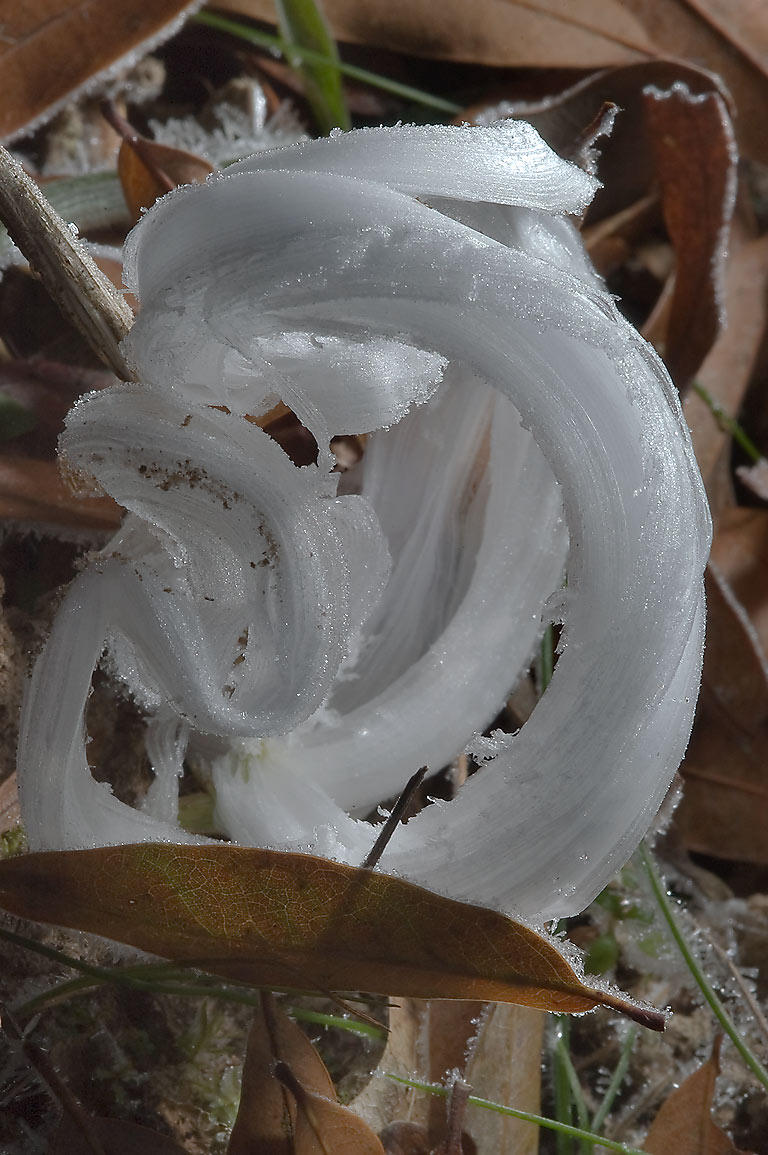 Frostweed (Verbesina virginica) on sewer line...ribbon candy). College Station, Texas