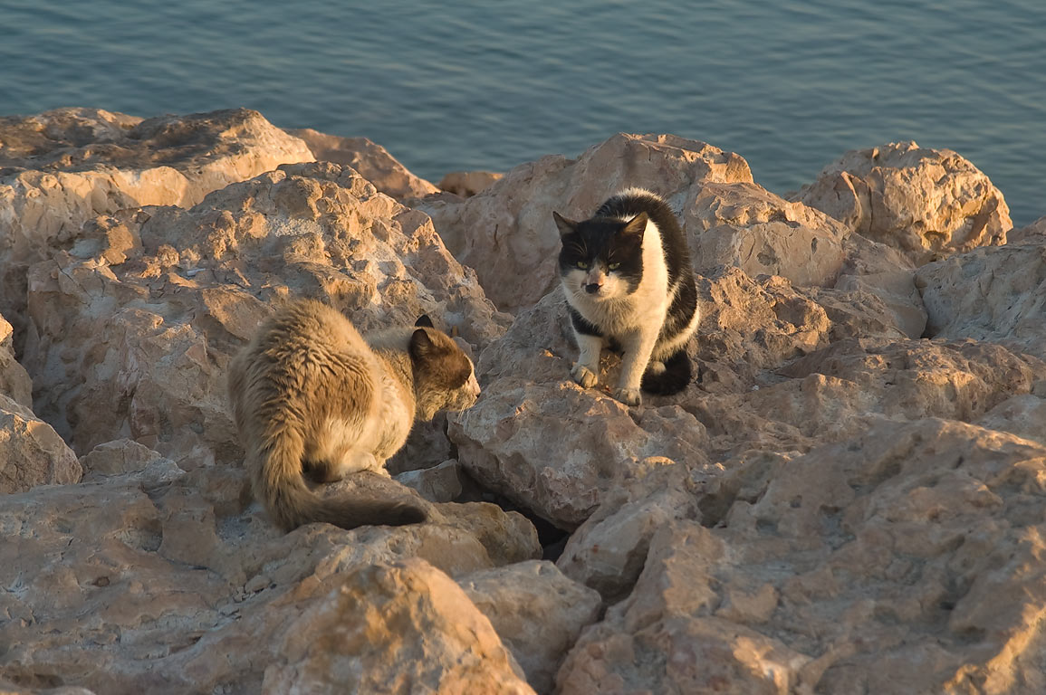 Stray cats living among stones of causeway of...of Al Wakra, south from Doha. Qatar