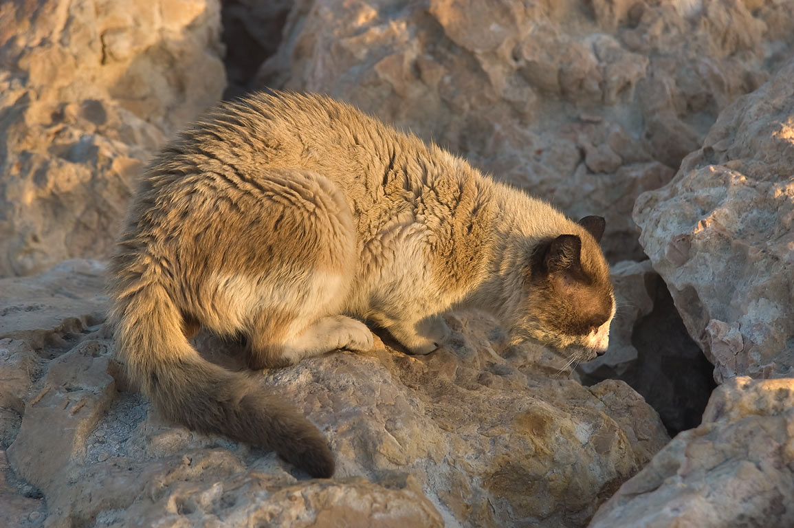 Stray cat ready to hide under stones of causeway...of Al Wakra, south from Doha. Qatar