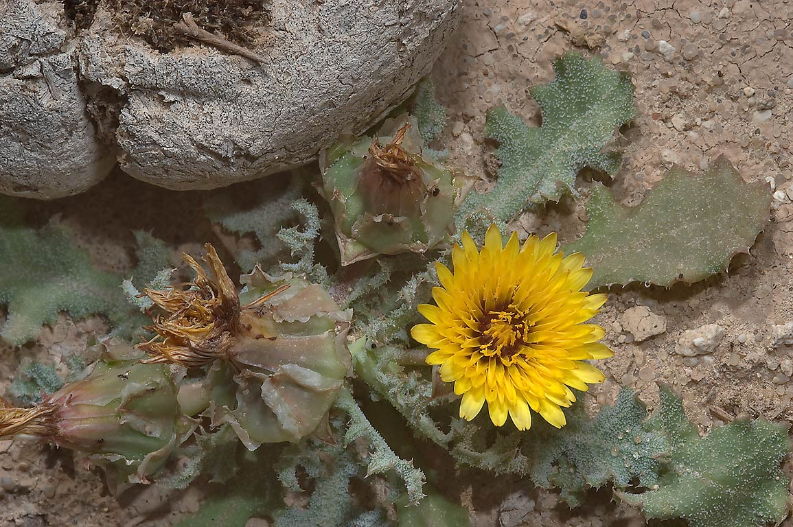 False sowthistle (Reichardia tingitana, local...area, north from Zekreet. Qatar