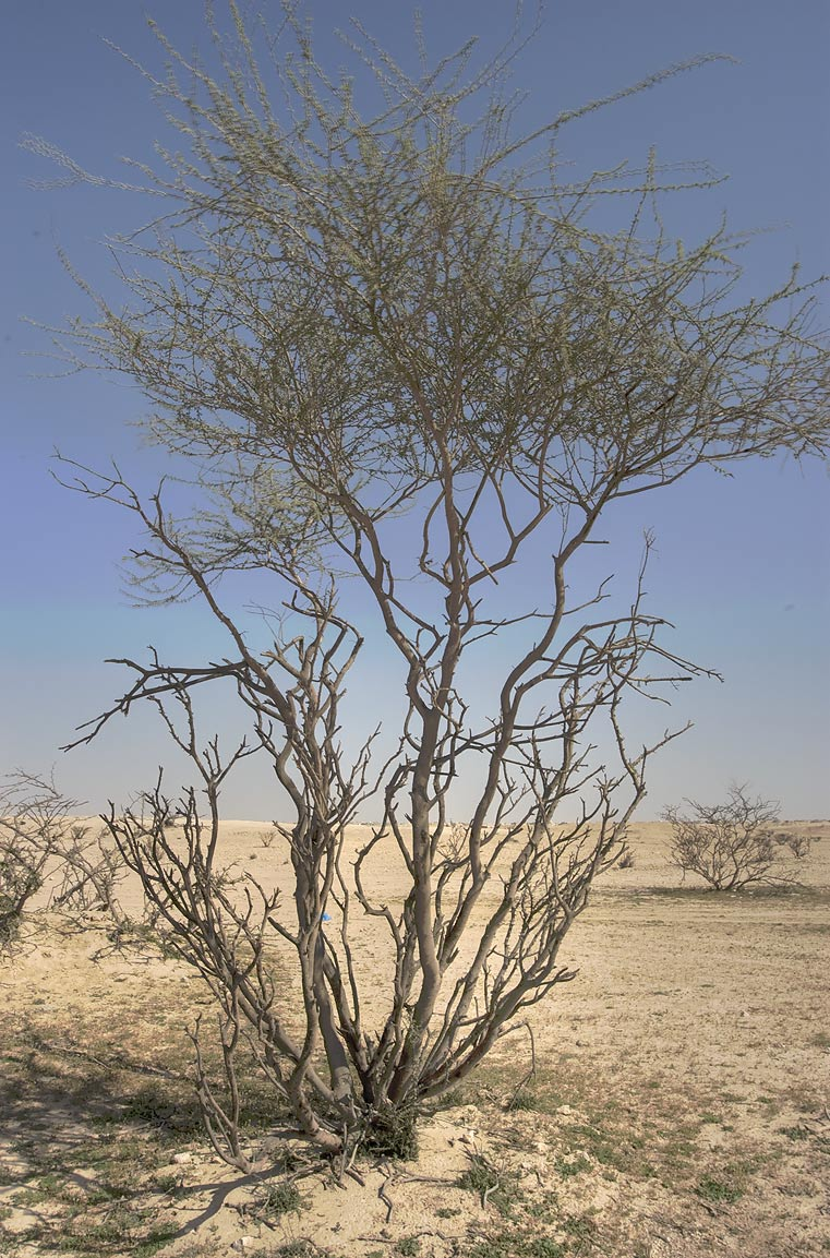 Thorn Acacia (Acacia ehrenbergiana, local name...in south central area. Qatar