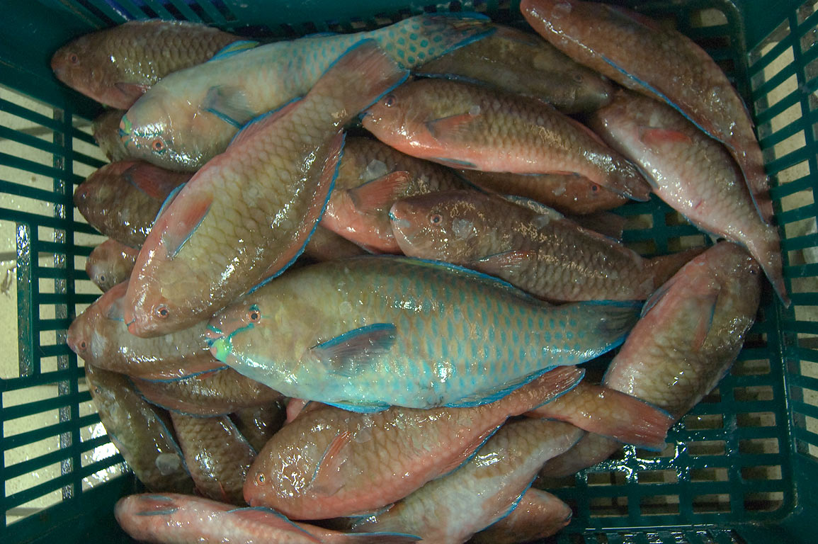 Parrotfish (Gain, Chlorurus sordidus) on sale in Central Fish Market. Doha, Qatar