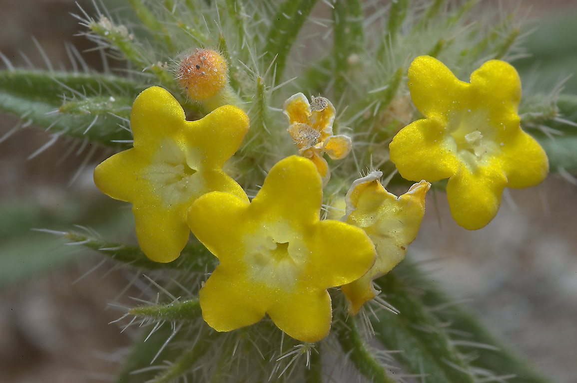 Cluster of yellow spring flowers of Arabian...40 miles south-west from Doha. Qatar