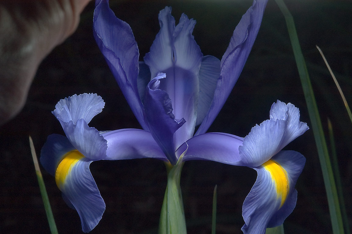 Blue iris in TAMU Horticultural Gardens in Texas...M University. College Station, Texas