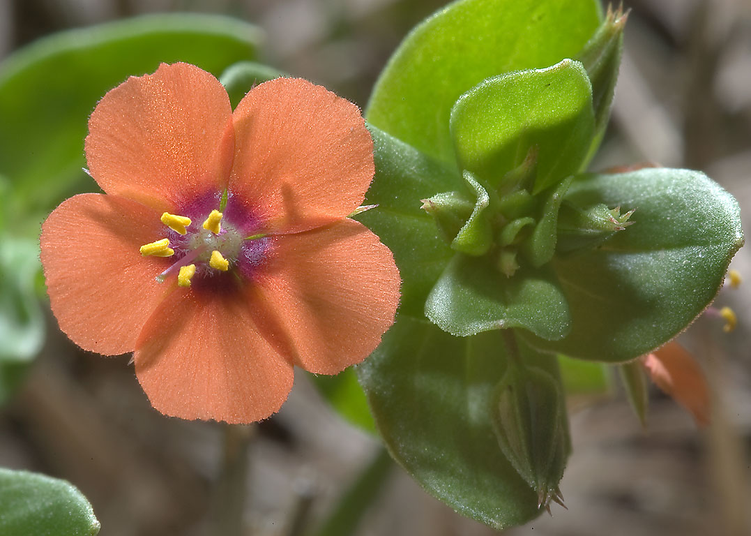 Back-lit scarlet pimpernel (Anagallis arvensis...State Historic Site. Washington, Texas