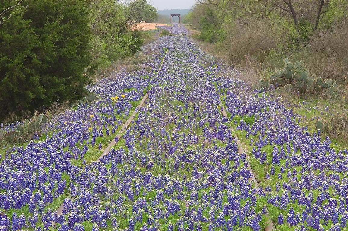 Lupine and other weeds thriving on polluted soil...near Rd. 1431, west from Burnet. Texas