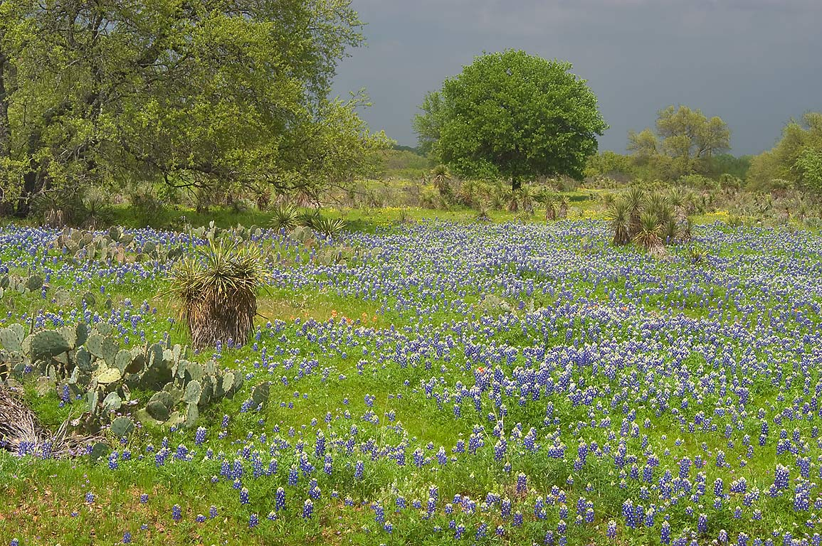 Ranch with bluebonnets (lupine) along Rd. 29 east from Llano. Texas