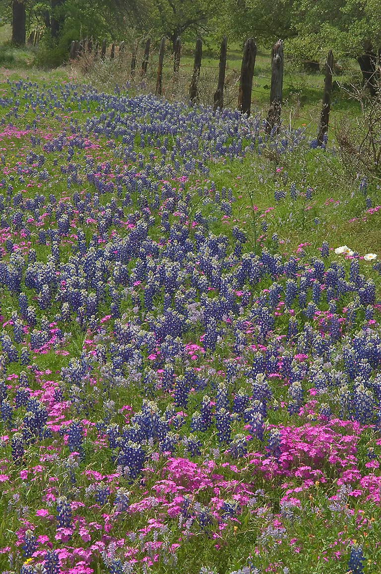 Bluebonnets (lupine) and red phlox on roadside of Rd. 29 east from Llano. Texas