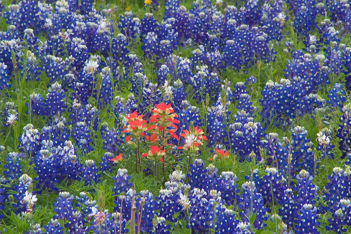 Paintbrush among bluebonnets in Old Baylor Park. Independence, Texas
