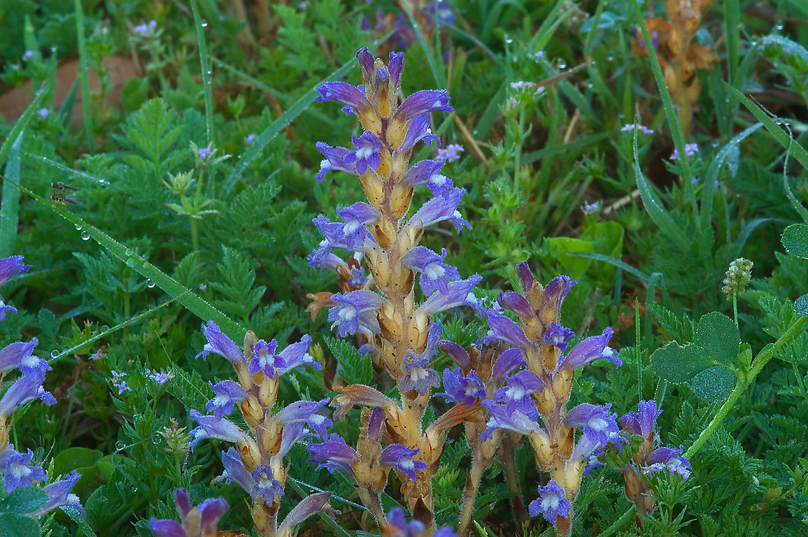 Blue and white flowers of Branched Broomrape...Hensel Dr.. College Station, Texas