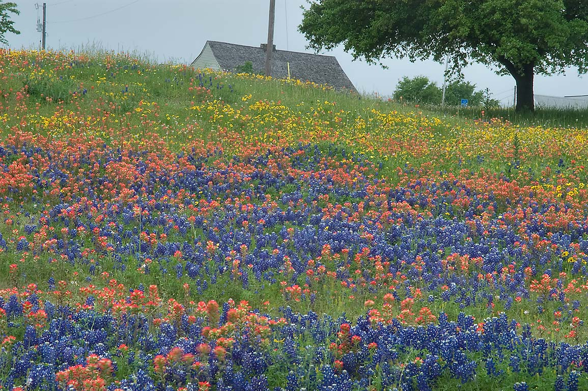 Wildflowers south from FM 390 opposite to Old Baylor Park. Independence, Texas