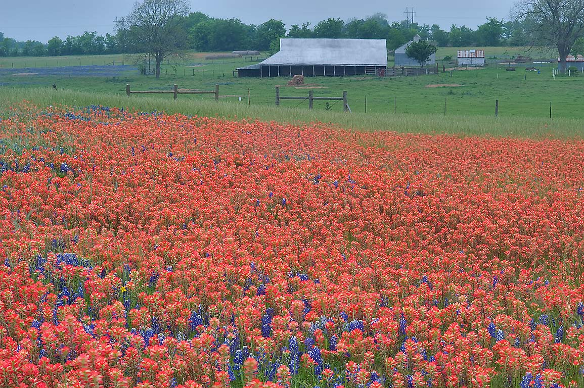 Field of wildflowers near 9370 Old Independence...Ranch, north from Brenham. Texas