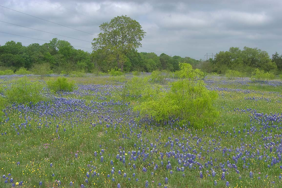 Pasture with mesquite tree and bluebonnets at Dunnheim Rd. east from Gay Hill. Texas