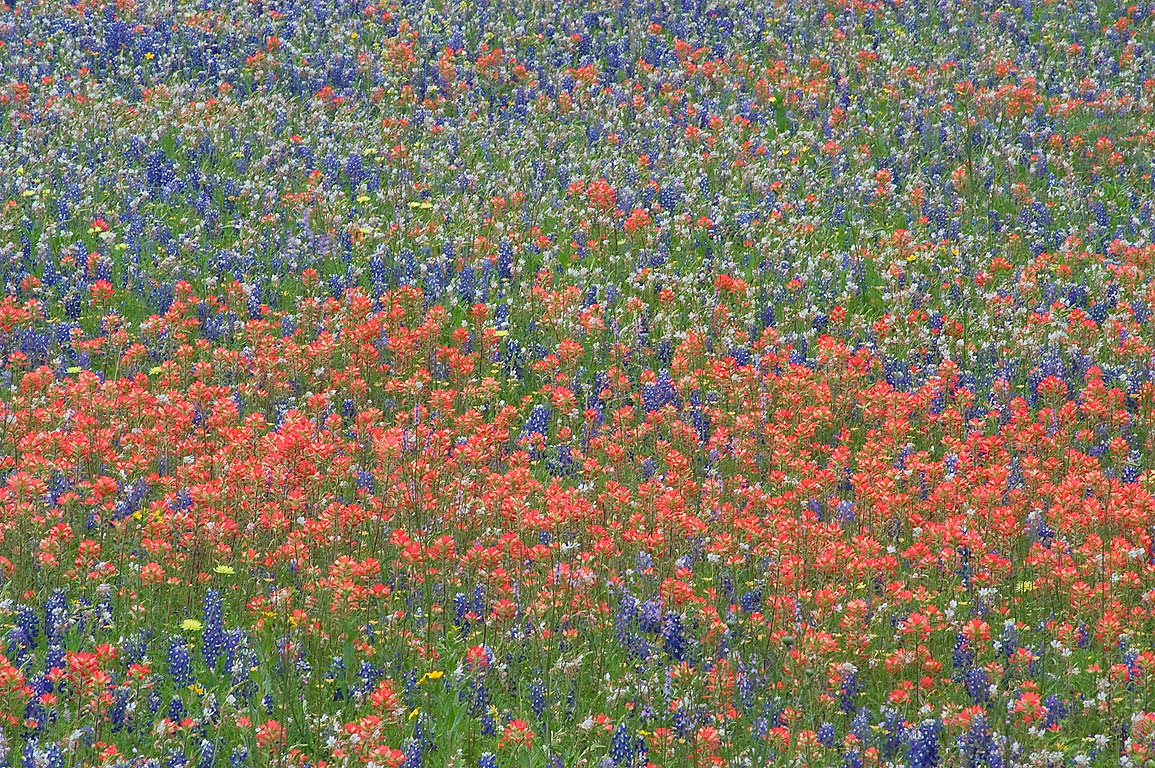 Mixture of wildflowers at 2726 Clay Creek Rd. west from Independence. Texas