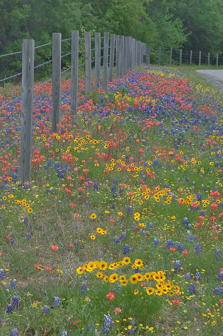 Mixture of wildflowers along Hoddeville School Rd...of Rd. 390 west from Gay Hill. Texas