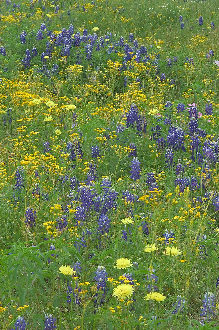 Mixture of blue and yellow wildflowers from Rd. 390 east from Independence. Texas