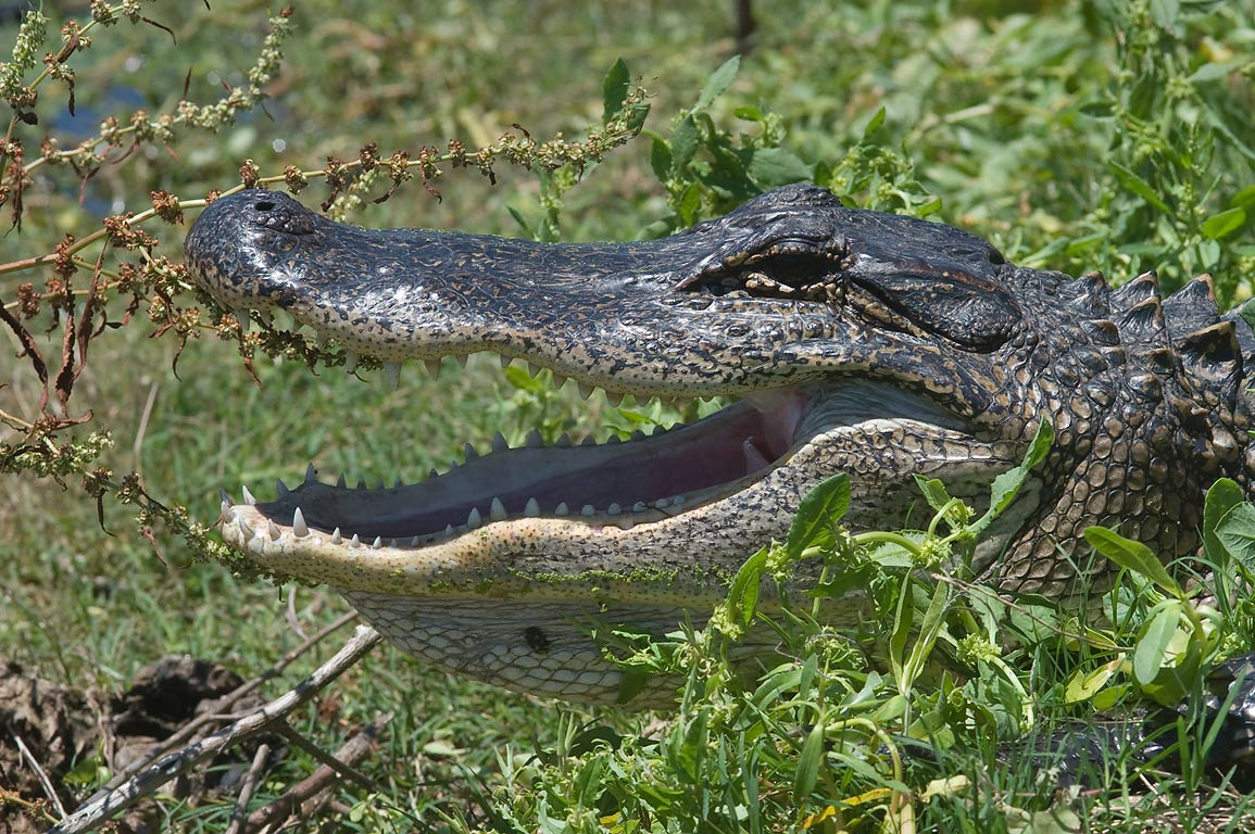 Alligator near 40 Acre Lake in Brazos Bend State Park. Needville, Texas