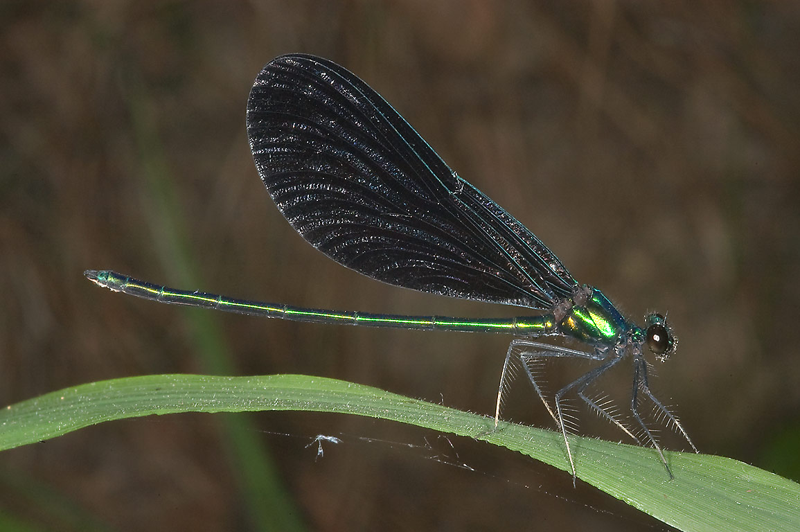 Damselfly near a creek on Little Lake Creek Loop...National Forest. Richards, Texas