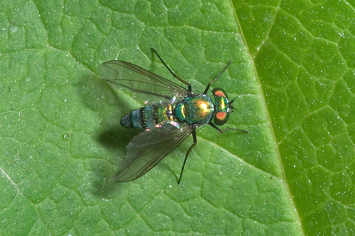 Dolly fly (Metallic long-legged fly, Sciapodinae...M University. College Station, Texas
