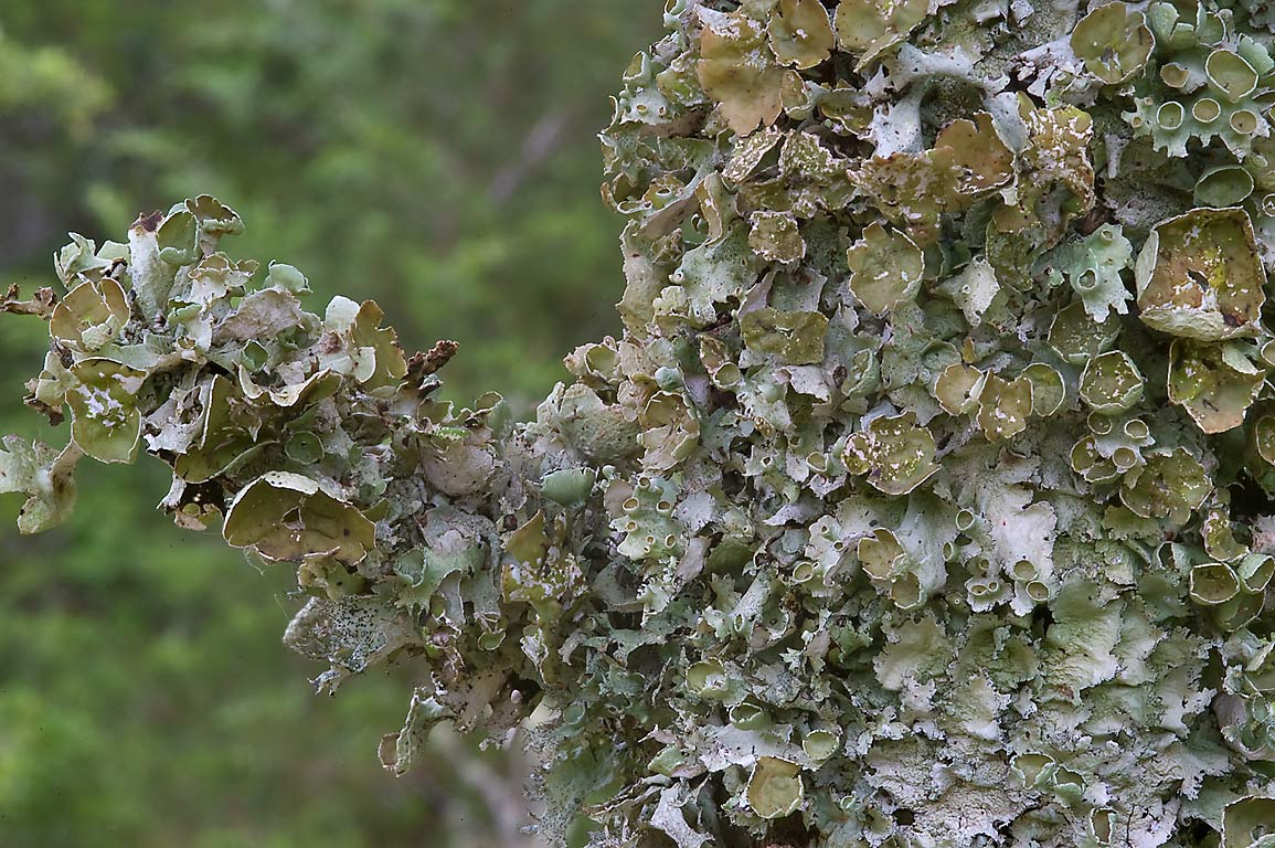 Lichens covering a tree in Washington-on-the-Brazos State Historic Site. Washington, Texas
