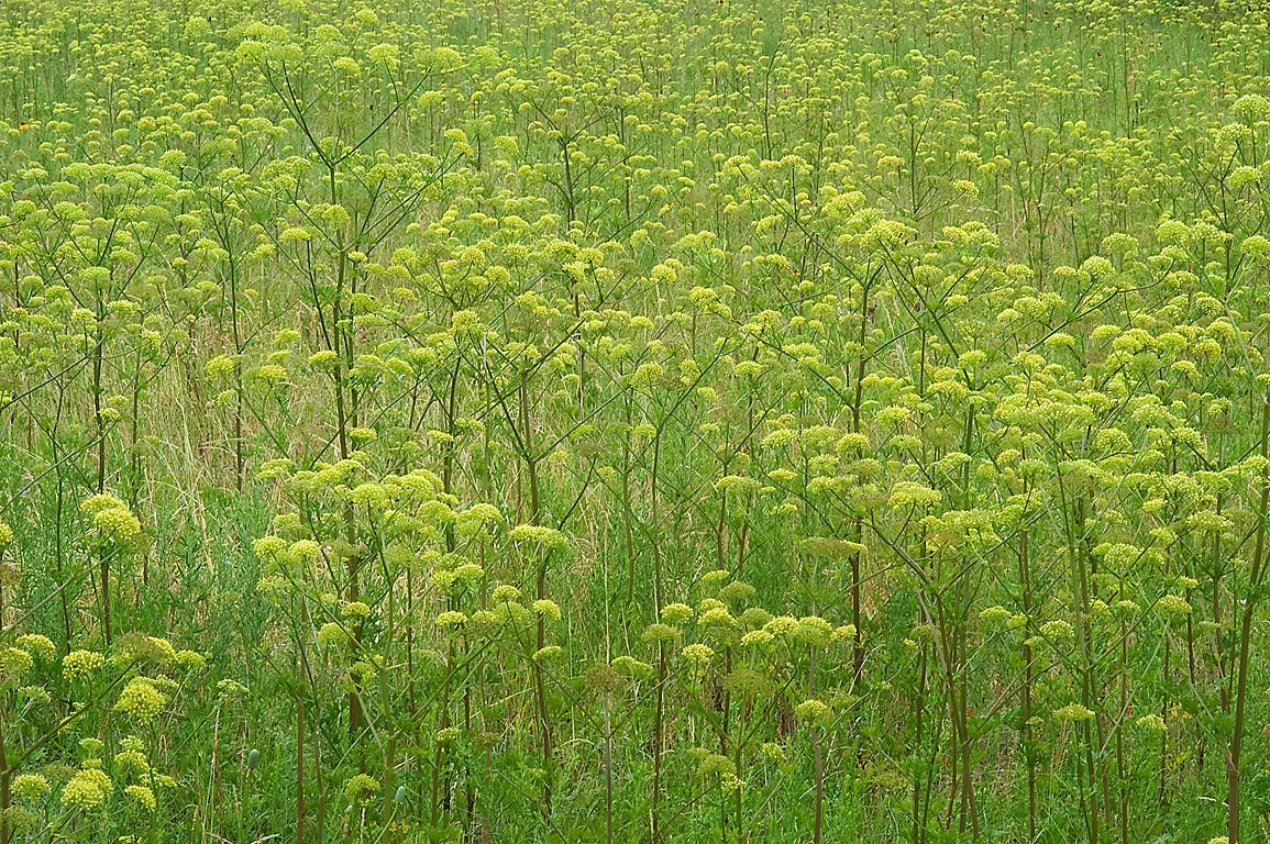 Field of prairie parsley (Polytaenia texana...State Historic Site. Washington, Texas