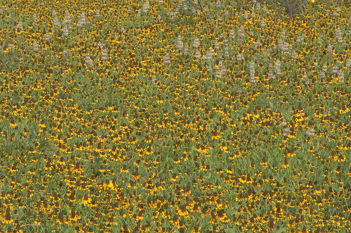 Field of black-eyed susan (Rudbeckia hirta...Rd. 50, south from College Station