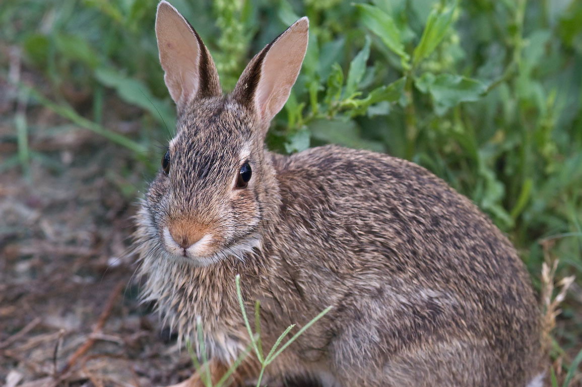 Young Eastern cottontail rabbit (Sylvilagus...M University. College Station, Texas