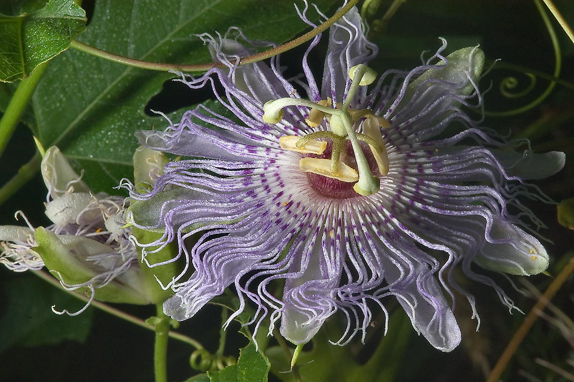 Blooming Passion flower (maypop, Passiflora...Creek Park. College Station, Texas
