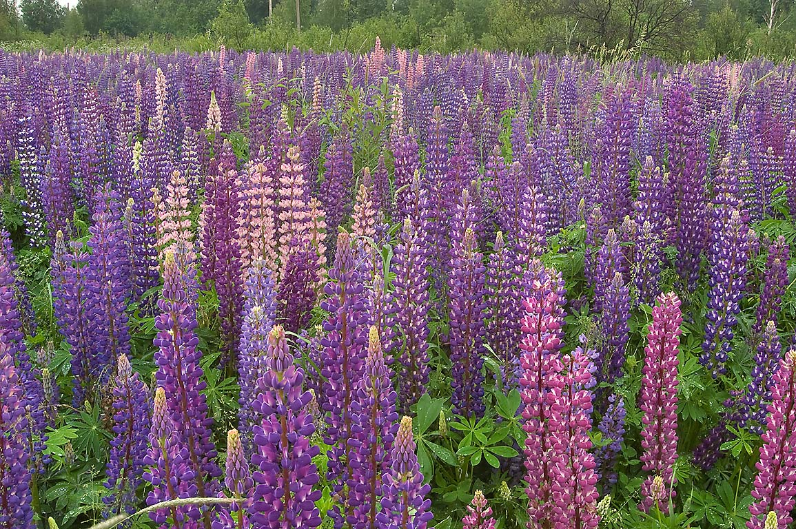 Blooming lupin near railroad in Shushary, south from St.Petersburg, Russia