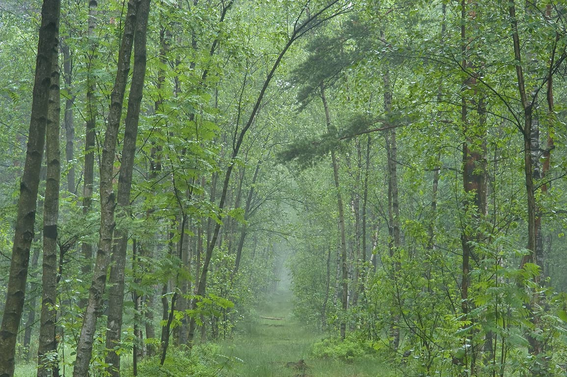 Road in swamp area of Sosnovka Park in fog. St.Petersburg, Russia