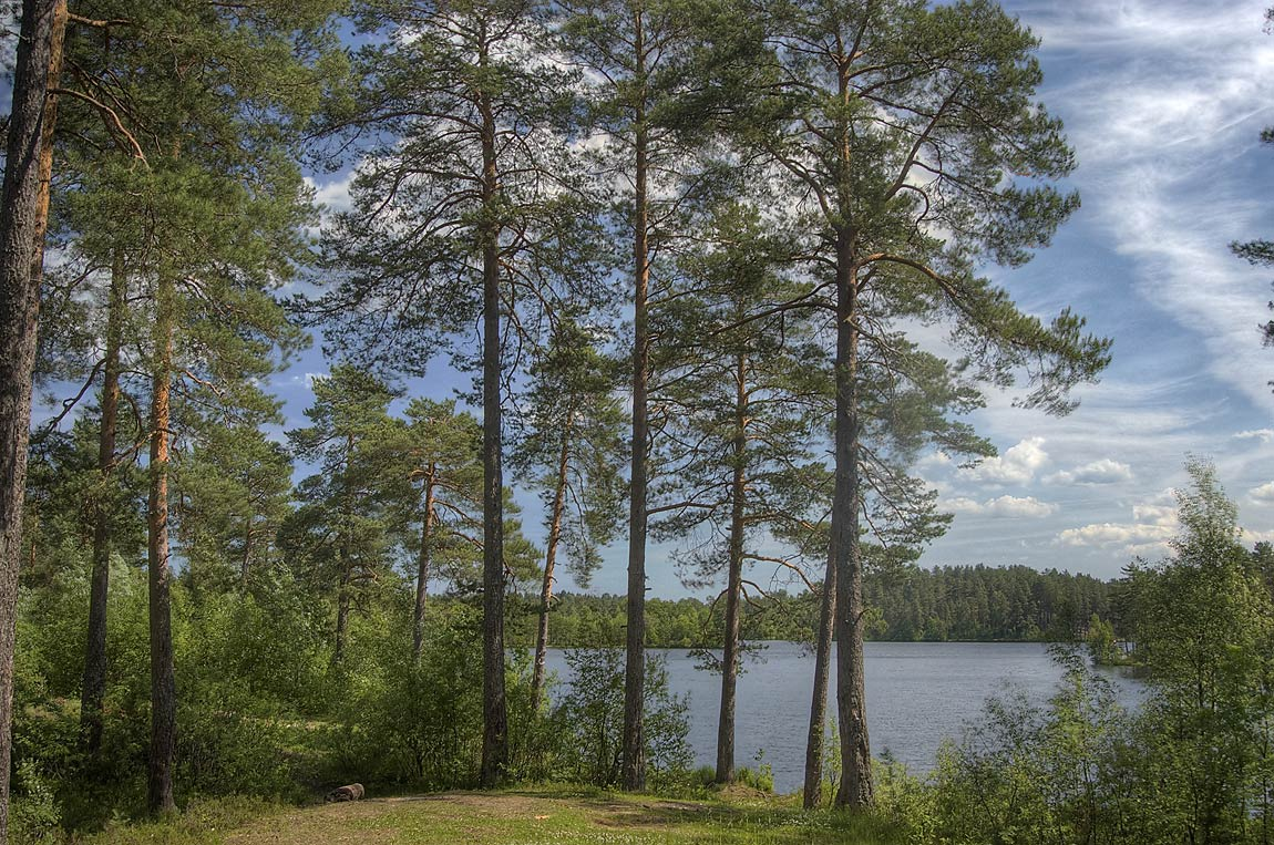 Pine trees and a lake near Orekhovo, north from St.Petersburg. Russia