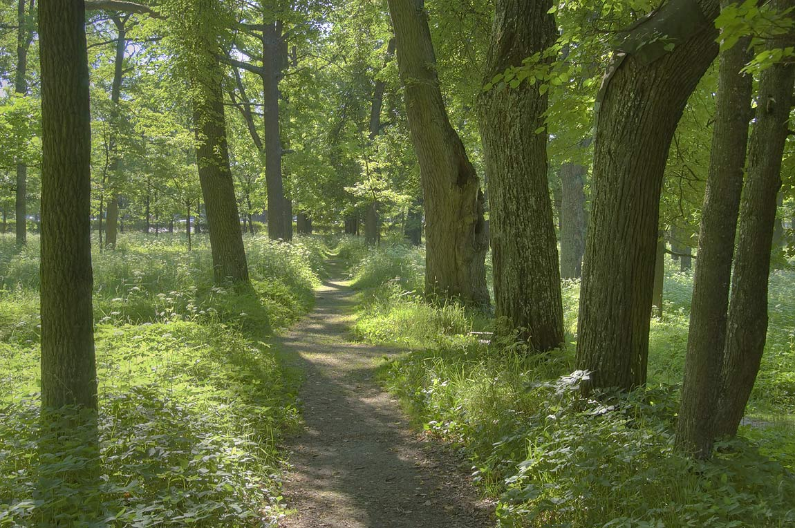Linden alley in Gatchina Park. Gatchina, a suburb of St.Petersburg, Russia