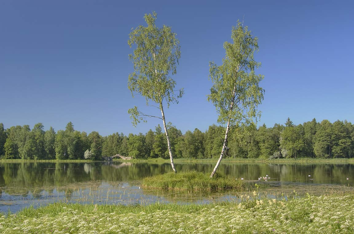 Birches on a small island on Beloe Lake in...a suburb of St.Petersburg, Russia