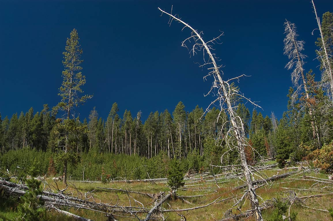 Cooked forest above Black Dragons Caldron (Mud volcano area) in Yellowstone Park. Wyoming