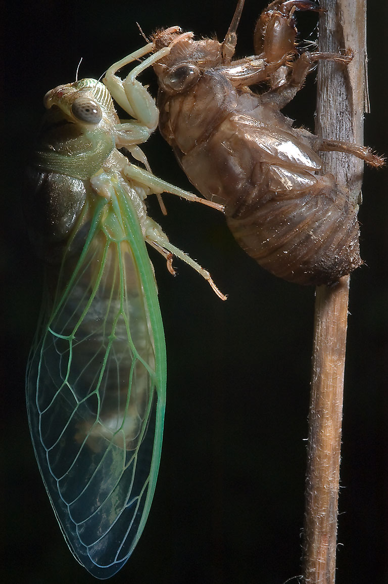Cicada molting out of its nymph shell in Lick Creek Park. College Station, Texas